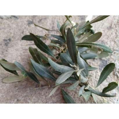 İlaçsız Zeytin Yaprağı 100 GR